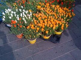Nice Market - Namaqualand daisies